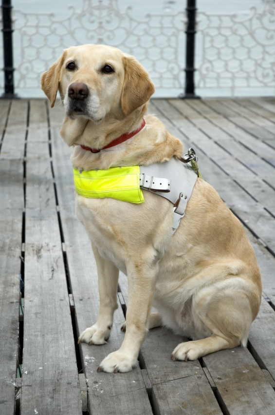 Working dog with halter